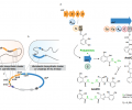 FIG 1. Compressed synthetic pathways for heterologous expression of natural and unnatural nonribosomal peptides.