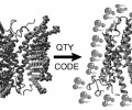 Figure 2. Depiction of the native GPCR embedded in a lipid bilayer. Upon replacing hydrophobic amino acids within the α-helical transmembrane domains with hydrophilic amino acids, the water-soluble GPCR variant can still form alpha helices and maintain its structure in aqueous conditions.
