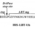 Schematic showing the expression and proteolytic processing of LBT-Ubiquitin conjugates.