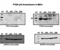 Demonstrates immunoblot results of targeted knockdown of p53 and PTEN tumor suppressors using the scheme of