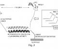 Design for HER receptor biasing, engineered ligands.