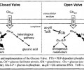 Metabolite valves for the inducible, dynamic control of glucose metabolism in E. coli