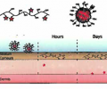 Schematic of the nanomicelle fibular structures, composed of  ATRA particles bound to poly- (vinyl alcohol) via DCC chemistry, showing penetration into the dermis. The ATRA is released in the hydrated dermis.