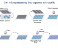 Cell micropatterning into agarose microwells