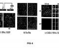 FIG. 4: (a) Preliminary results with siRNA-EGFP. CCE cells were infected with lentiviral vectors containing Hef1a:tetRKRABIRES2-Puro, PolIIItetO:siRNAEGFP, and Ubc:EGFP. Bright-field and fluorescence images taken 48 hrs post induction (—1 mM aTc) show how the RNAi construct regulates GFP expression. (b) Preliminary experimental results for TRE:Bax/Bak. Brightfield images 24 hours post-Dox induction show efficient killing based on dramatic changes in cell morphology. One day later only cell debris remained i