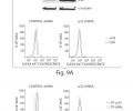 FIG. 9A is a western blot on whole-cell lysates from MDA-MB-435 tumor cells stably expressing shRNA for p32 or a base mismatch control shRNA (top). Flow cytometry analysis of the same cell lines for surface levels of p32 using polyclonal anti-full-length/NH2-terminal p32 or IgG isotype control (bottom); FIG. 9B shows that TAMRA-labeled tandem peptides bearing the LyP-1 homing domain or a control domain (ARALPSQRSR, (SEQ ID NO: 1) ARAL) were incubated over p32 shRNA cells.