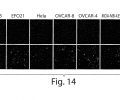 FIG. 14 shows six (6) different human cancer cell lines derived from: ovarian cancer (CaOV3, EFO21, OVCAR-8, and OVCAR-4), cervical cancer (HeLa), breast cancer (MDA-MB-435), and a mouse ovarian cancer cell line (T22H) surveyed for surface expression of p32 by immunostaining using a polyclonal p32 antibody;