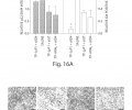 FIG. 16A shows that treatment with p32-targeted nanocomplexes resulted in a slight increase in p32 levels (Left, black bars), and significant suppression of ID4 expression (Right, white bars). Tumor sections from a representative mouse in each cohort were stained for p32 and ID4 via immunohistochemistry. The values represent means from p32 fluorescence intensities normalized to DAPI from 5 separate sections (left) and averaged area percentage positive for ID4 (right).