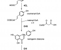 FIG. 1 shows an early phenylpropanoid pathway for the conversion of L-tyrosine to naringenin. Four heterologous enzymes must be expressed in E. coli to mediate the synthesis of naringenin from L-tyrosine: tyrosine ammonia lyase (TAL), 4-coumarate:CoA ligase (4CL), chalcone synthase (CHS), and chalcone isomerase (CHI).