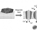 Figure 1. Magnetic nanodiscs interfaced with the cell membrane convert the applied magnetic field into magnetic force to drive calcium channel activation and promote calcium flux.